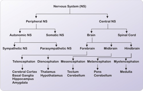 Icse Solutions For Class 10 Biology The Nervous System And Sense
