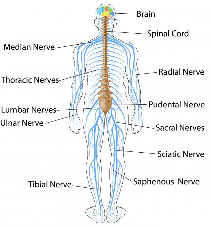 Major Human Nerves Diagram Spine Diy Wiring Diagrams