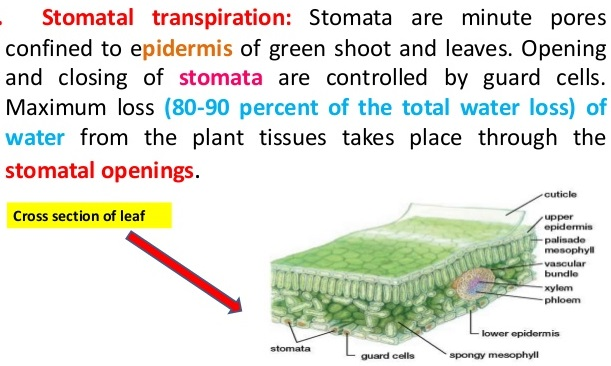 Transpiration ICSE Solutions For Class 10 Biology