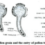 Selina ICSE Solutions for Class 9 Biology – Pollination And Fertilization