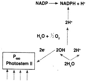 HSSlive Plus One Botany Chapter Wise Questions and Answers Chapter 9 Photosynthesis in Higher Plants 5