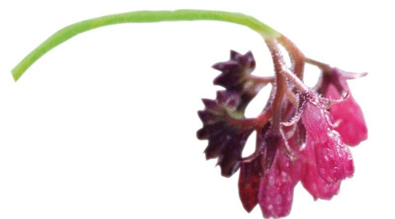 Heilpflanze Beinwell