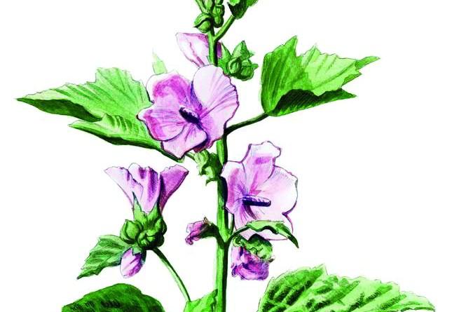 Eibisch Pflanze. Natur-Apotheke Februar