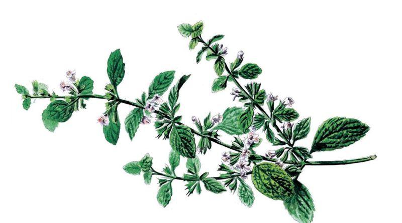 Illustration einer Minze auf weißem Hintergrund. Natur-Apotheke im Oktober