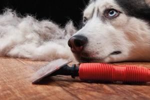 Hund, Huskey. Hundekopf auf Boden. Bürste, loses Fell. Fellwechsel Frühling