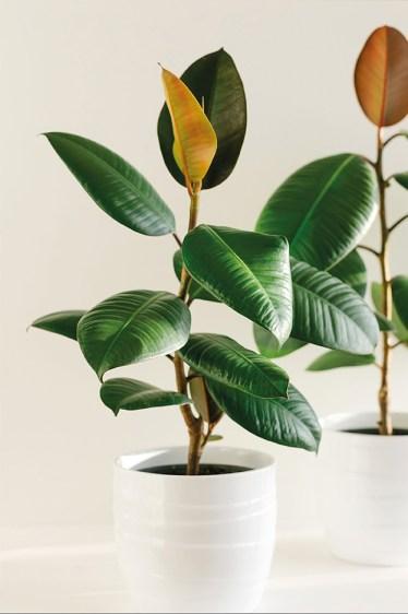 Zimmerpflanze. Ficus in weißem Topf.