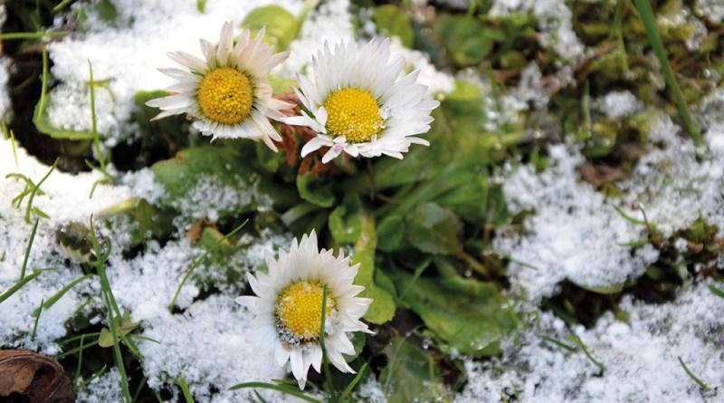 Heilpflanzen vor der Haustüre: Gänseblümchen