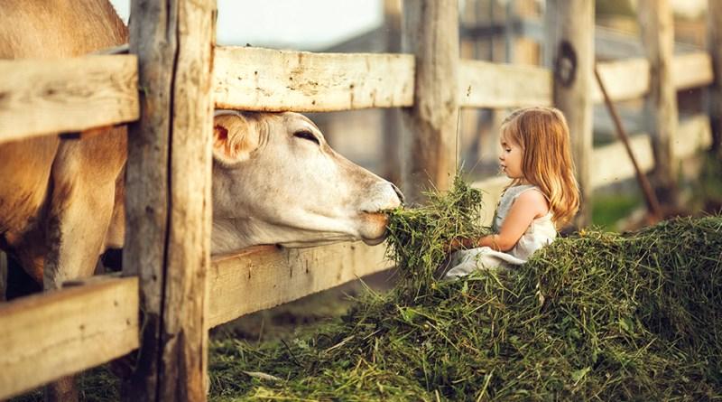 Bauernhof. Kind sitzt im Heu und füttert Kuh. Bauernhof-Effekt. Hyposensibilisierung.