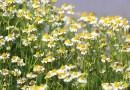 Heilpflanzen vor der Haustüre: Kamille