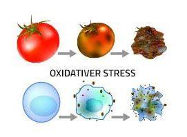 Oxidativer Stress veranschaulicht an Zellen und an Tomaten