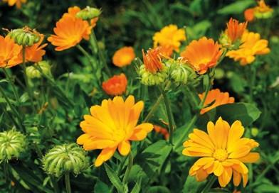 Heilpflanzen vor der Haustüre: Ringelblume