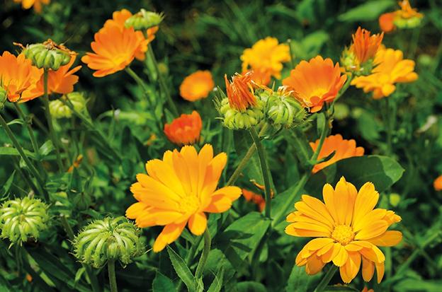 Feld voll mit Ringelblumen. Calendula. Heilpflanze Ringelblume