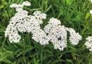 Heilpflanzen vor der Haustüre: Schafgarbe