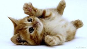 chaton-roux