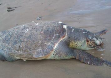 Νεκρή χελώνα σε παραλία του Ηρακλείου
