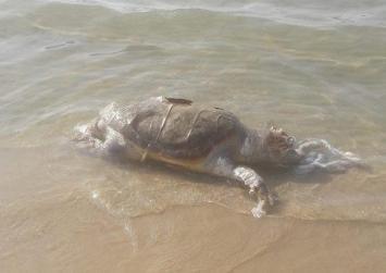 Νεκρή χελώνα ξεβράστηκε σε παραλία των Χανίων
