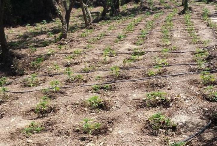 """Νέο είδος καλλιέργειας κάνναβης ποικιλίας… """"νανάκια"""" εντόπισαν οι Αρχές στο Μυλοπόταμο"""