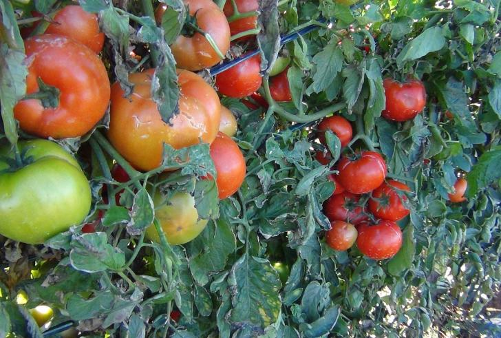 Παραγωγός από την Ιεράπετρα δίνει δωρεάν 1.300 φυτά ντομάτας