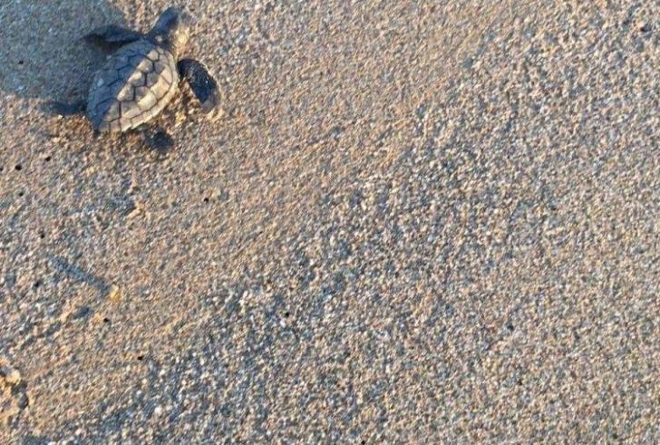 Τα πρώτα νεογέννητα χελωνάκια της καρέτα καρέτα στο Ρέθυμνο
