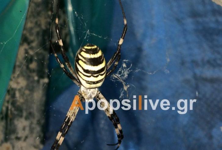 Αράχνη γίγας σε χωριό της Πάνω Ρίζας