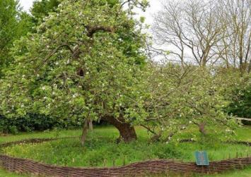 Η μηλιά του… Νεύτωνα!