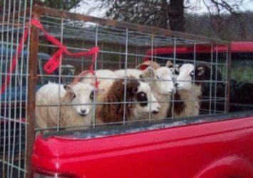 Αιφνιδιαστικοί έλεγχοι σε αγρότες, κτηνιάτρους και εμπόρους για τα μεταφερόμενα ζώα