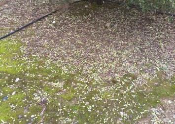Πάνω Ρίζα: Μετά την πλημμύρα η ζημιά στον ελαιόκαρπο μεγαλώνει