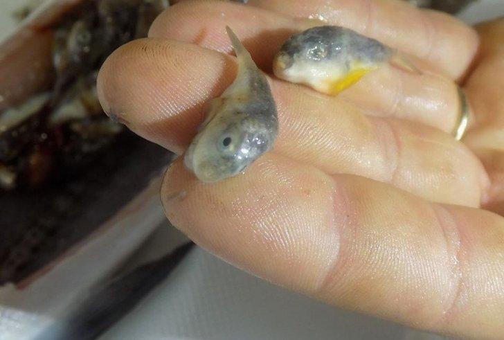 Ψαράς στην νότια Κρήτη έπιασε μια ζαργάνα γεμάτη λαγοκέφαλους! (φώτο)