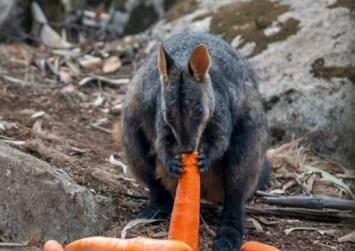 Πετούν από ελικόπτερα καρότα και πατάτες στα ζώα που λιμοκτονούν στην Αυστραλία