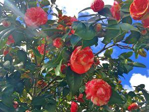 Flores rosas e brancas