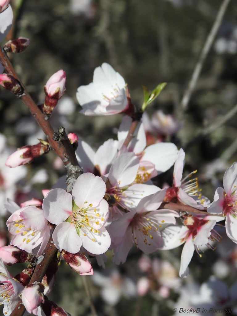 Almond Blossom by BeckyB (2)