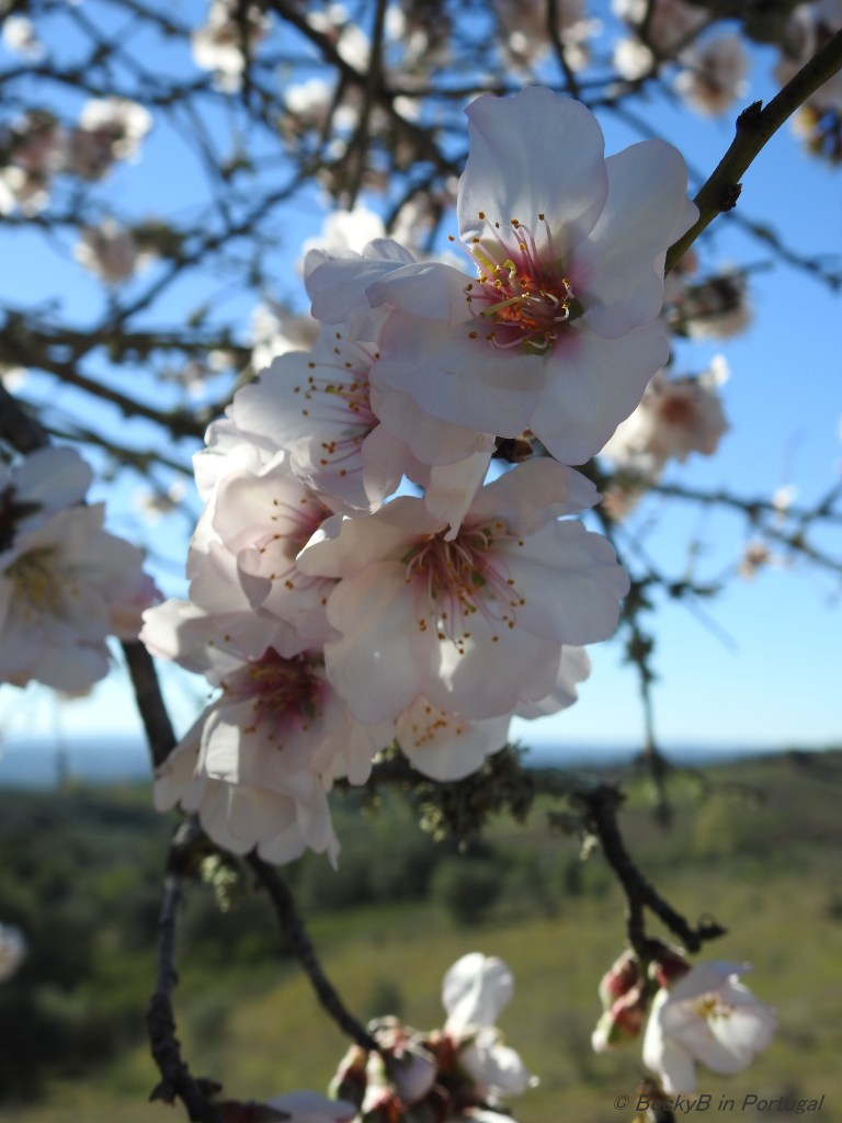 Almond Blossom by BeckyB (3)