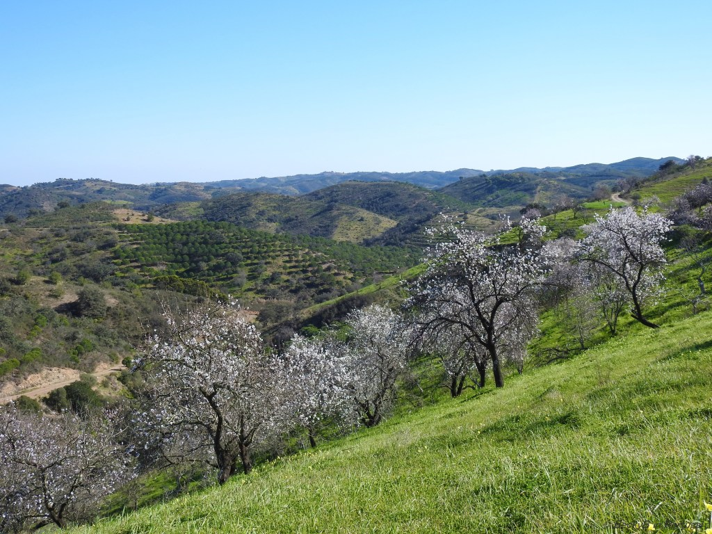 Almond Blossom by BeckyB (7)