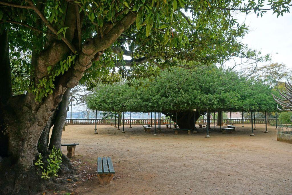 Tree at the Jardim Botânico da Ajuda