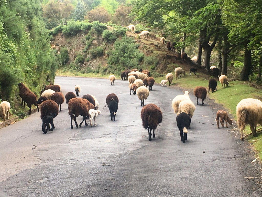 Sheep in Madeira