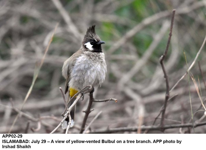 ISLAMABAD: July 29 – A view of yellow-vented Bulbul on a tree branch. APP photo by Irshad Shaikh