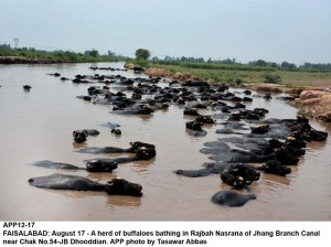 FAISALABAD: August 17 - A herd of buffaloes bathing in Rajbah Nasrana of Jhang Branch Canal near Chak No.54-JB Dhooddian. APP photo by Tasawar Abbas