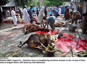 RAWALPINDI: August 01 – Butchers busy in slaughtering sacrificial animals on the 1st day of Eidul Azha at Eidgah Sharif. APP photo by Irfan Mahmood