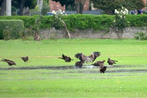 FAISALABAD: September 07 – A flock of Eagles bathe in stagnant water at the Agricultural University's D-Ground and enjoy the cloudy weather. APP photo by Tasawar Abbas
