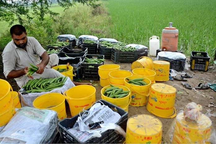 LAHORE: September 09 – A farmer packing vegetables after collecting from field. APP photo by Ashraf Ch