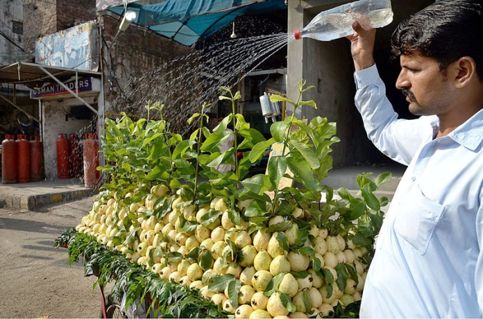LAHORE: October 08 - A vendor displaying and arranging fresh guava to attract the customers at his roadside setup. APP photo by Amir Khan