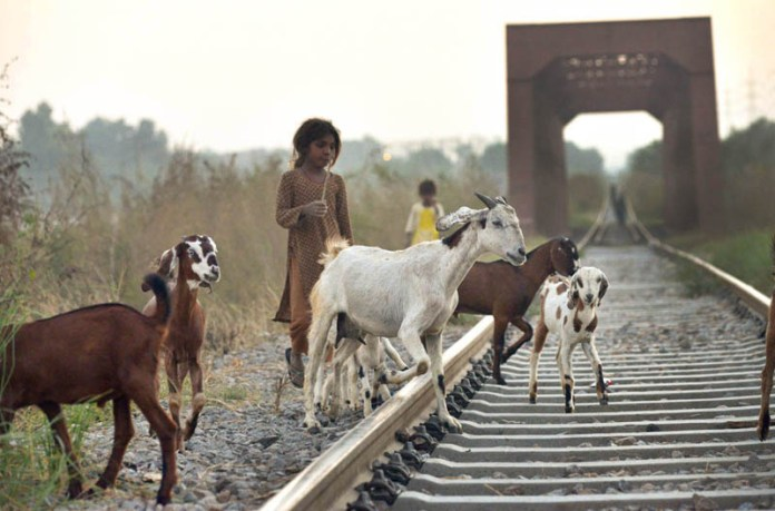 ISLAMABAD: October 18 – Gypsy children guiding their goats while crossing railway tracks near Golra Station. APP photo by Irshad Sheikh