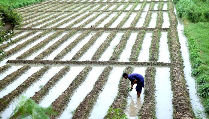 HYDERABAD: October 14 – A farmer busy in his work in a vegetable field near Bypass. APP photo by Akram Ali