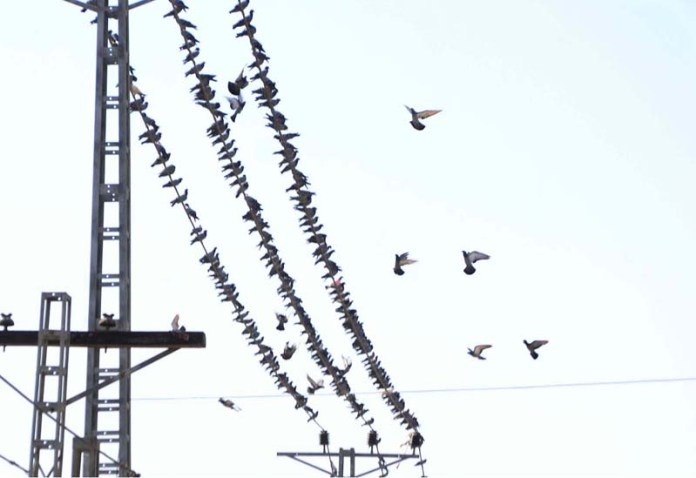 HYDERABAD: October 19 – A view of large numbers of pigeons sitting on the electric cable at jail road. APP photo by Farhan Khan
