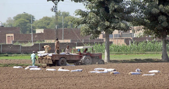 MULTAN: October 16 - Farmers busy in spreading seed bags for next potato crop at their field. APP photo by Tanveer Bukhari