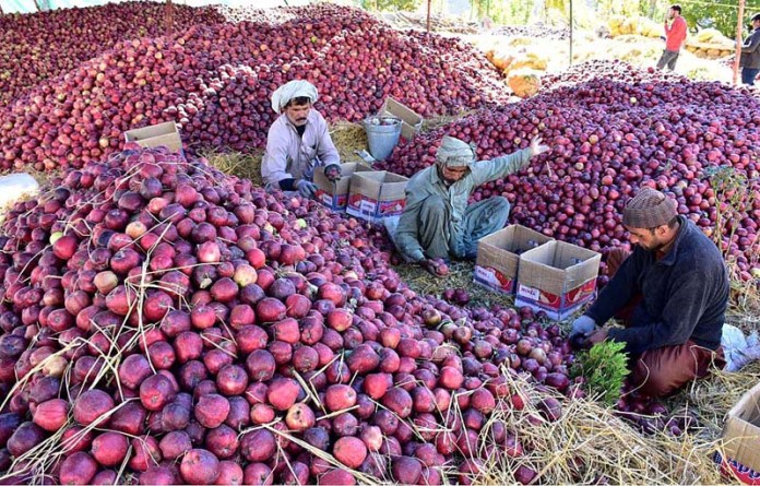 HUNZA: October 28 - Workers busy in packing fresh apples in boxes at Ginesh Valley to transport to other cities. APP Photo by Irshad Sheikh