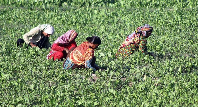 MULTAN: October 22 – Women workers busy in routine work at their farm field. APP photo by Tanveer Bukhari