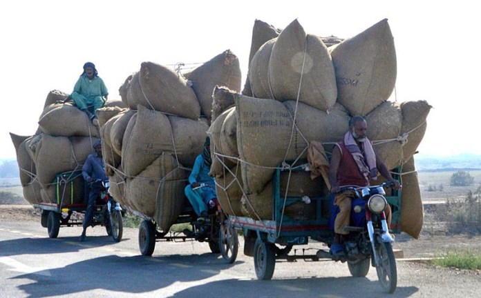 HYDERABAD: November 11 – Three tri-cycle rickshaw holders on their way loaded with chaff (husk from wheat) at Tando Jam Road. APP photo by Farhan Khan