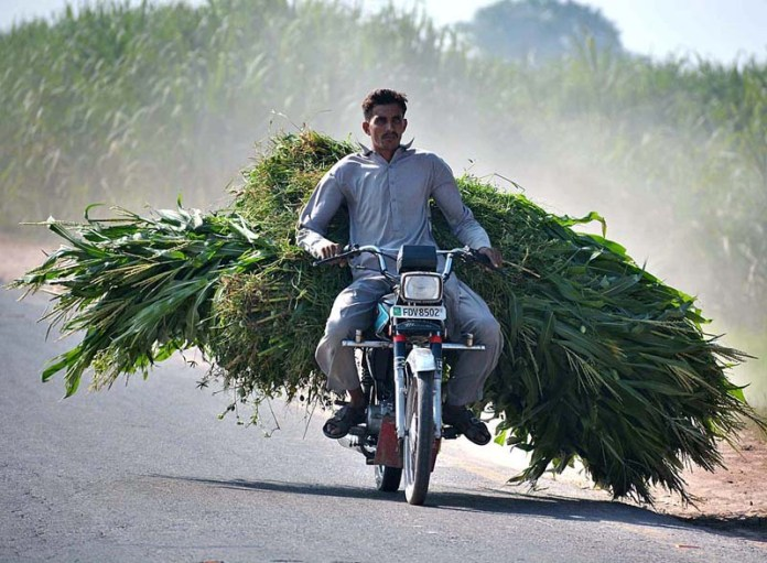 FAISALABAD: November 11 - A farmer on the way back on his motorcycle loaded with green fodder for animals. APP photo by Tasawar Abbas