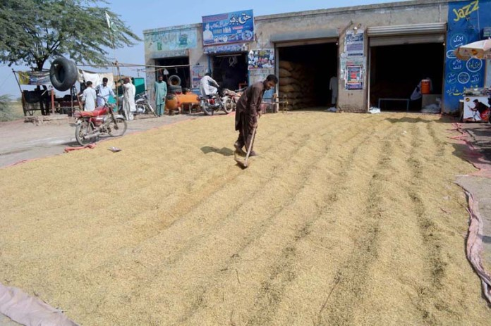 SARGODHA: November 02 - A man busy in drying rice crop product at Jhang Road. APP photo by Hassan Mahmood